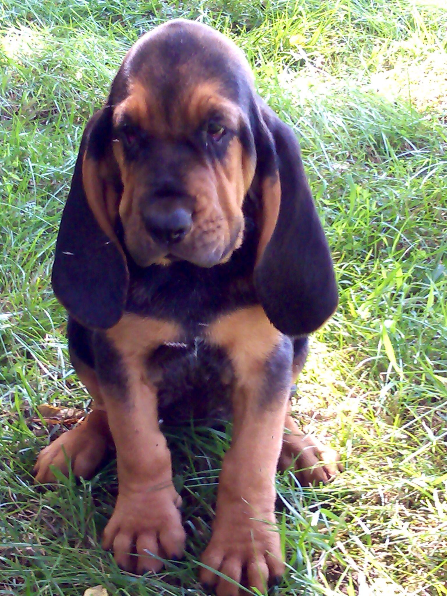 European Bloodhound puppy Sgt. Lucky the Red Bloodhound