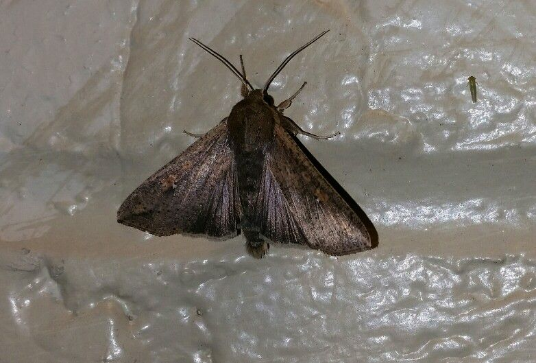 Unknown fairly large moth