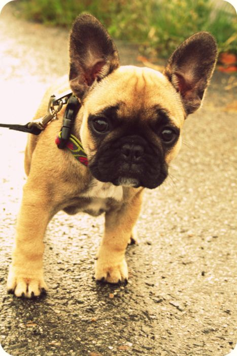 French Bull Dog Baby Dogs French Bulldog Puppies Puppies