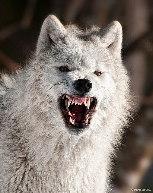 Welcome Center Angry Wolf Wolf Dog White Wolf
