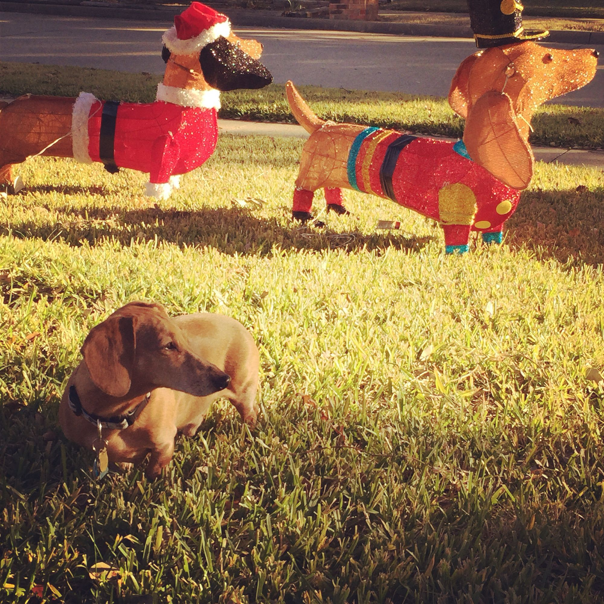 Light up dachshunds from Home Depot and our dog Henry the