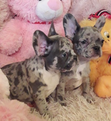 French Bulldog Puppy For Sale In Millville Ma Adn 70401 On