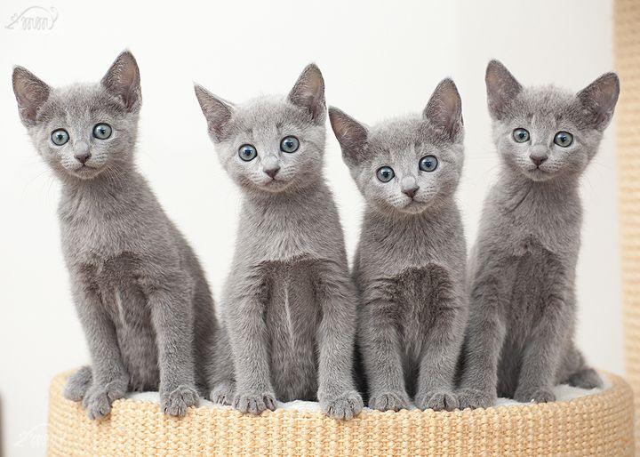Russisch Blau Kitten Anarrima S Die Zuchter Aus Ratingen Nrw Russian Blue Kitten Russian Blue Russian Blue Cat