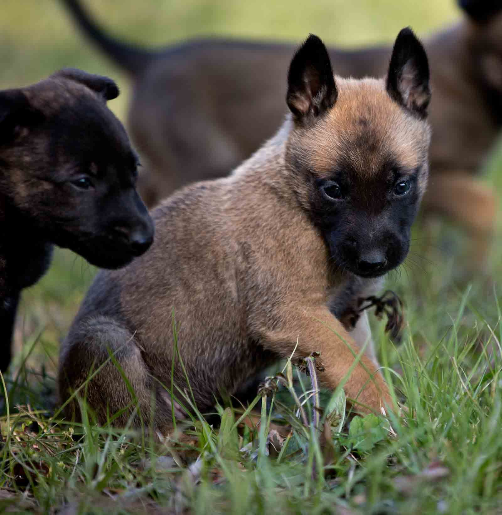 Moss K9 Dutch Shepherd Malinois Puppies For Sale Breeder Malinois Puppies Belgian Malinois Puppies Malinois Puppies For Sale