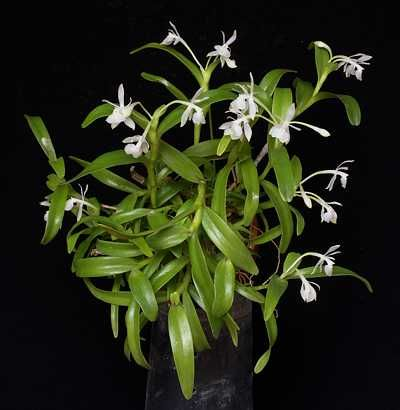 EpidendrumTrialatumPLT
