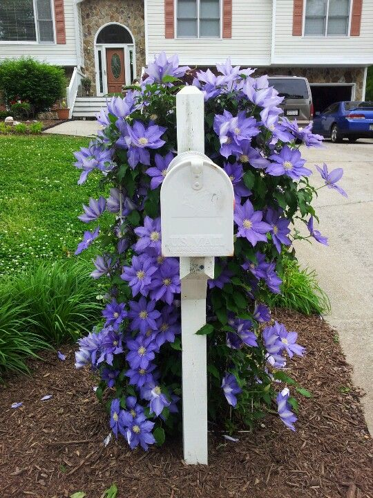 Purple Clematis On Trellis Behind Our Mailbox April