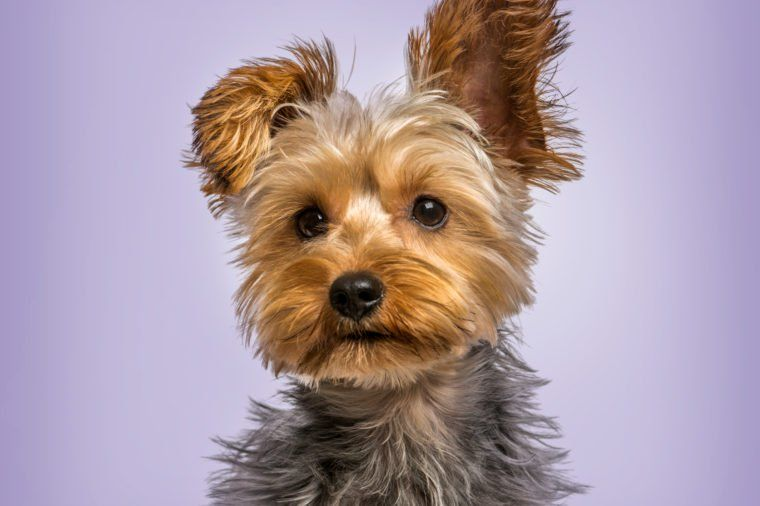 10 Adorably Small Dog Breeds That Stay Small Dog Breeds Small Dog Breeds Yorkshire Terrier