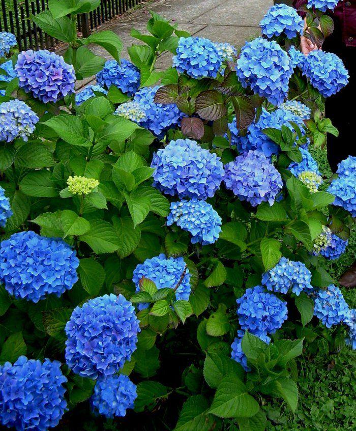 blaue hortensie sorgt f r eine pr chtige farbe im garten. Black Bedroom Furniture Sets. Home Design Ideas