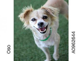 Papillon Mix Dog For Adoption In Los Angeles California Oso Dog Adoption Papillon Mix Dogs