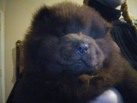 Litter Of 1 Chow Chow Puppies For Sale In Bay City Mi Adn 54755