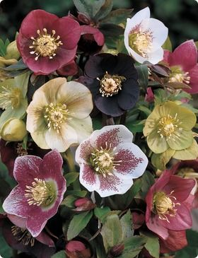 Hellebore also known as Christmas rose and Lenten rose. http://en.wikipedia.org/wiki/Hellebore