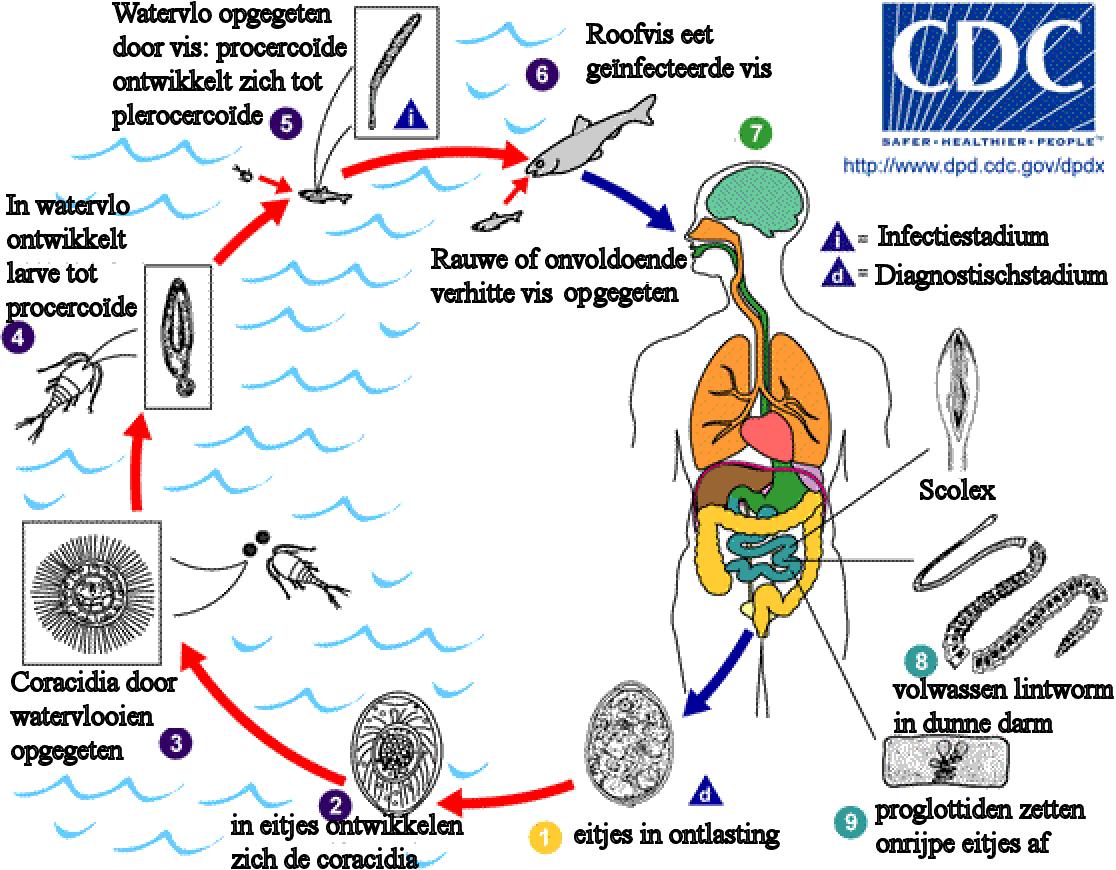 fish tapeworm kshtukal pinterest fish fish tapeworm pooptronica