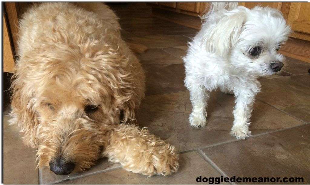 How to train your dog to use pee pads training your dog