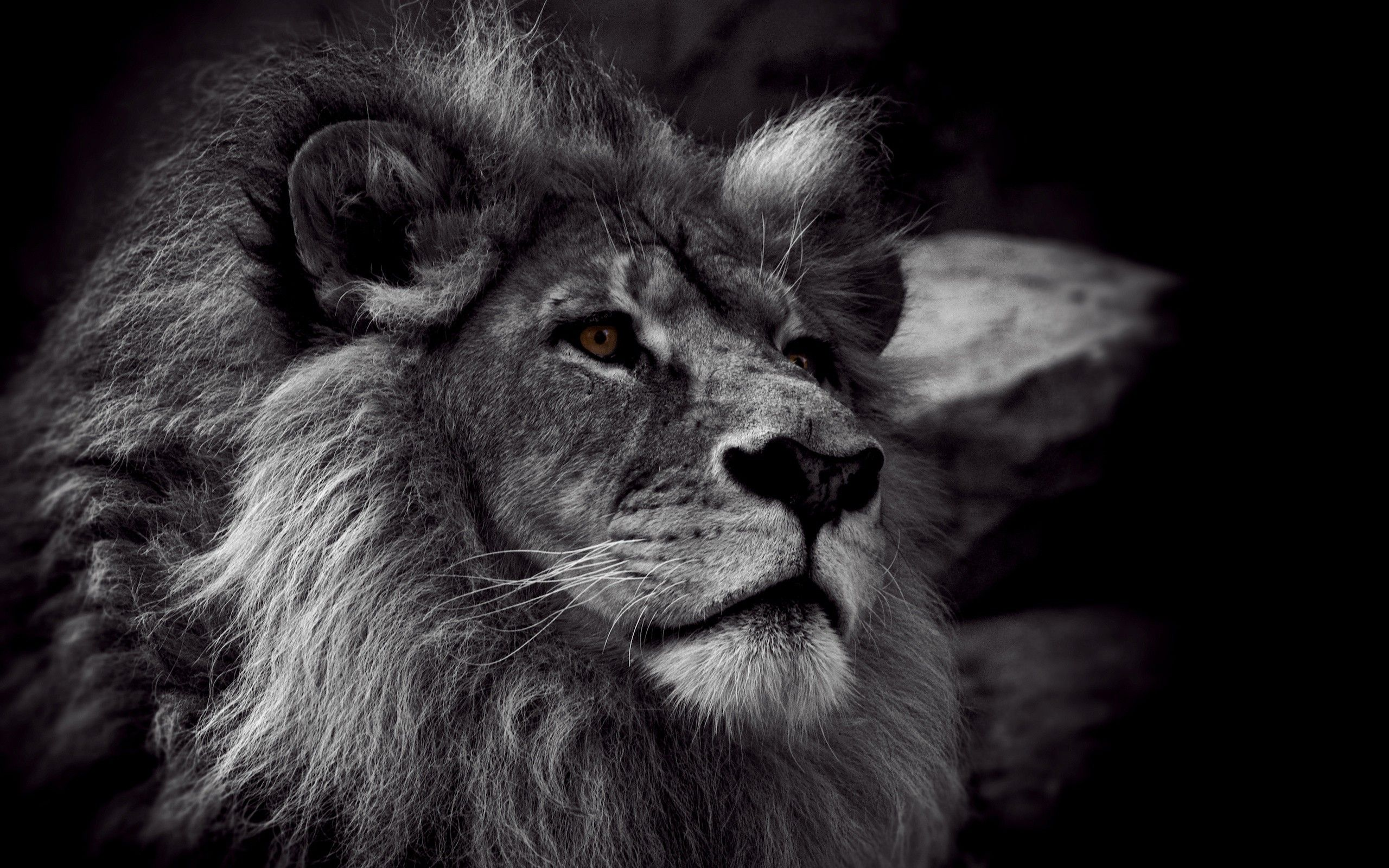 HD Wallpapers: Lion Black And
