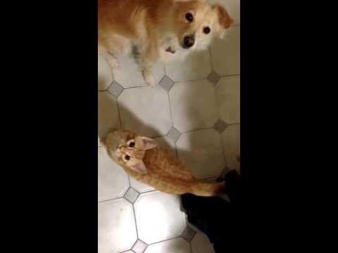 """Cat Triks : training cat to sit - INSEGNO AL GATTO IL COMANDO """"SEDUTO"""" - http://www.kittytalent.com/2014/12/cat-triks-training-cat-to-sit-insegno-al-gatto-il-comando-seduto/"""