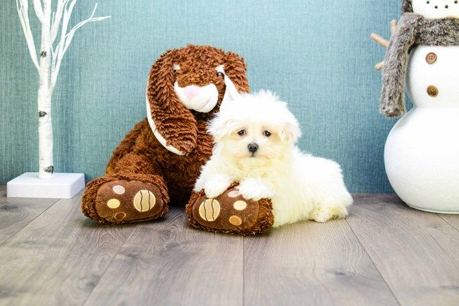 Teacup Madison Is One Of Our Maltese Puppies Maltese Puppy Puppy Adoption Puppies