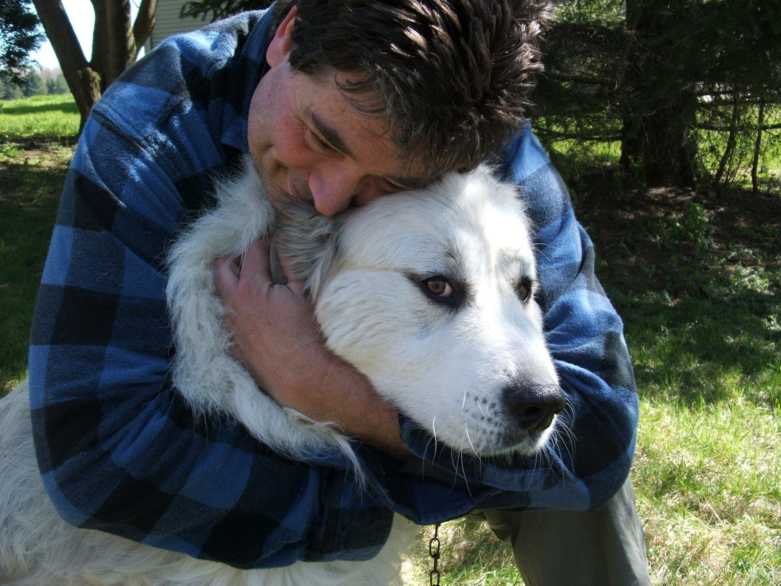 great pyrenees livestock guardian dogs - Google Search