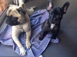 Frugs French Bulldog X Pug Puppies Pug Puppies Puppies French