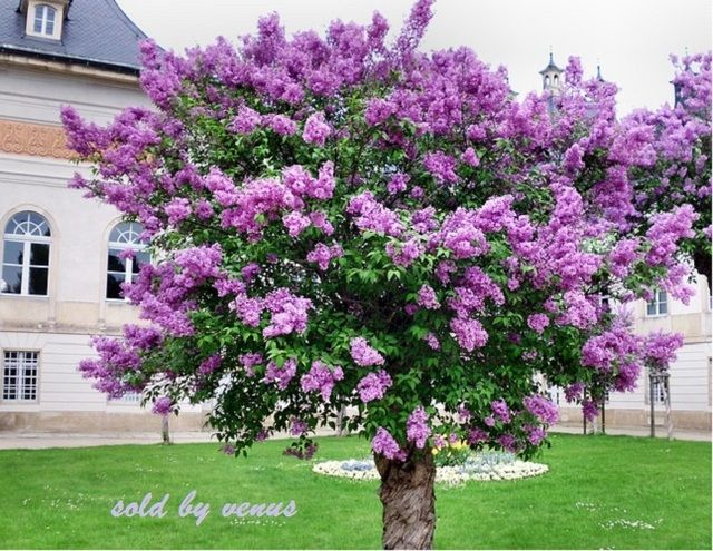 20 Old Fashion French Lilac Flower Shrub Seeds Do Lilac Tree Flowering Trees Myrtle Tree