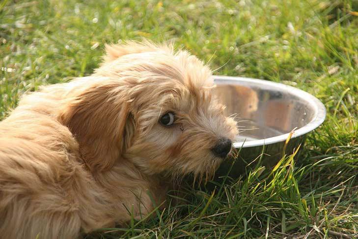 Tibetan Terrier Dog Breed Information Heat stroke in