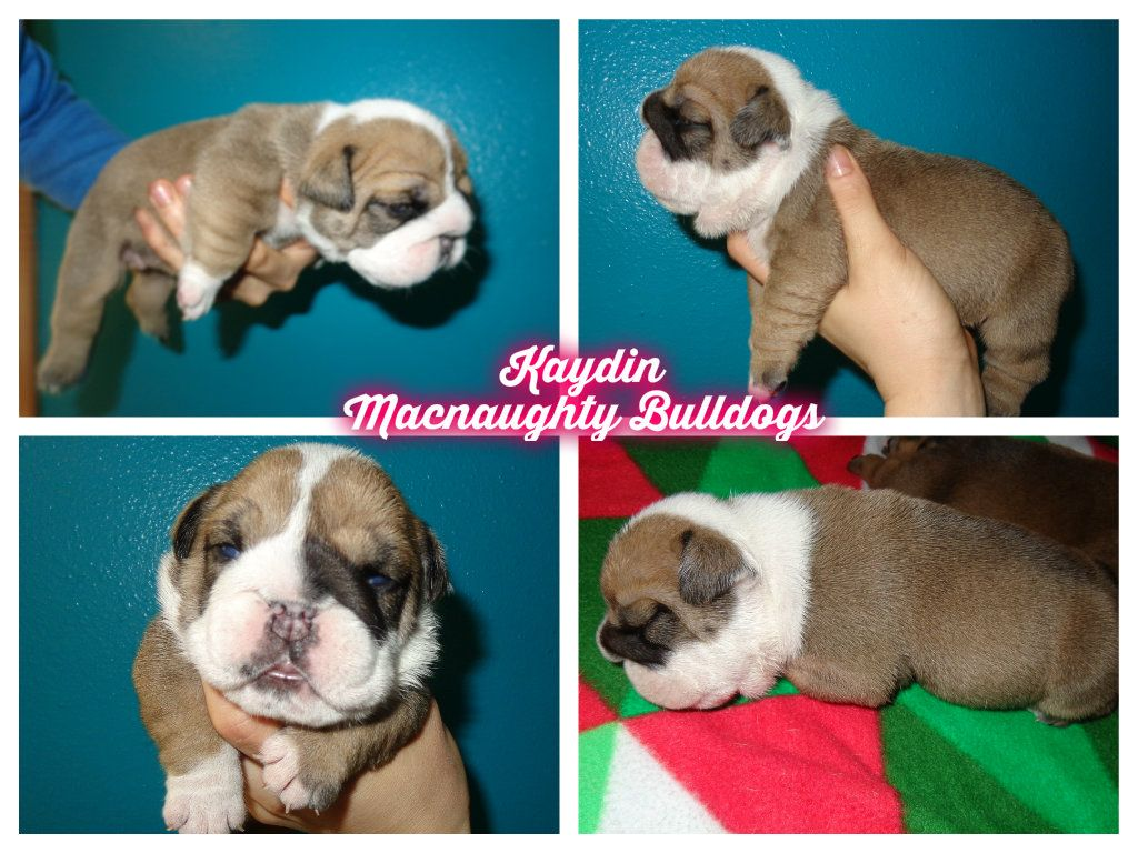 Stout X Brock Female At 2 Weeks Not Available Puppies Animals Dogs