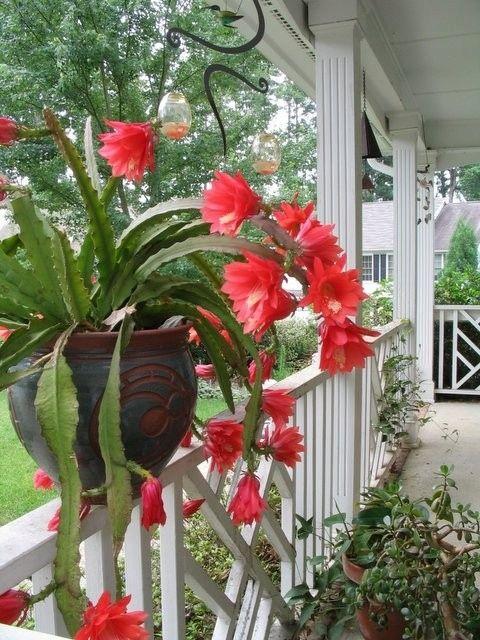 Epiphyllum ackermanii RED TIP-duże czerwone kwiaty - 8415505611 - oficjalne archiwum Allegro