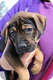 Boxer Shepherd Unknown Type Mix Puppy For Adoption In Detroit Michigan Casanova Cachorros Perros