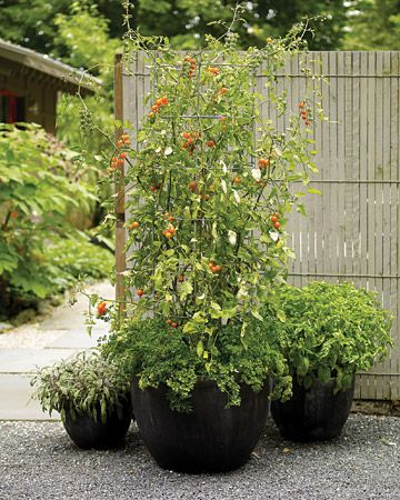 Tasty Tomatoes                                                        A container filled with ripe tomatoes offers beauty and reward. Fortunately, because tomatoes adapt well to cultivation in containers, this delight is available to almost anyone.