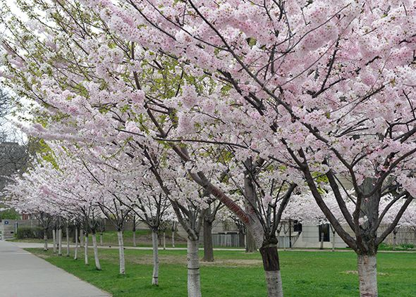 Robarts Cherry Blossoms Now In Full Bloom Cherry Blossom Blossom Discover Canada