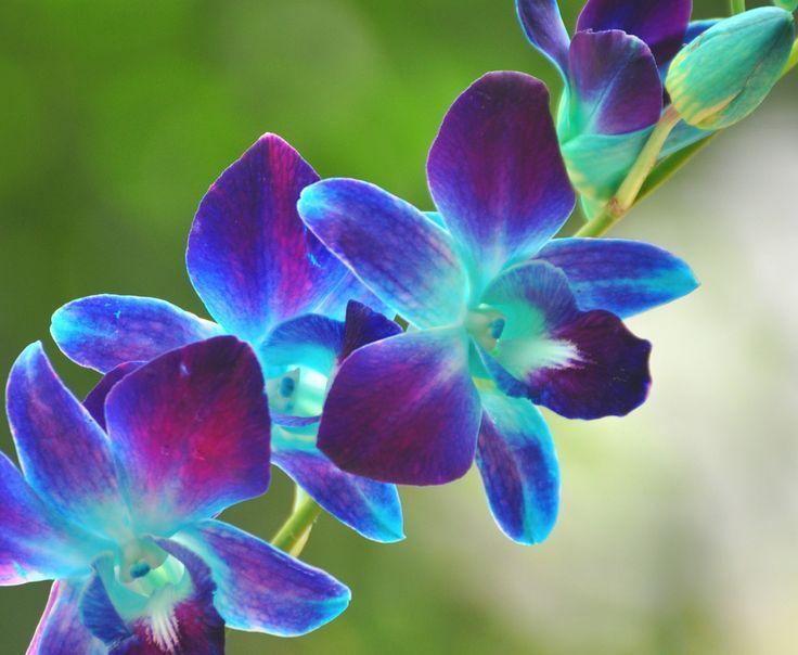Flowers Orchids Blue Purple