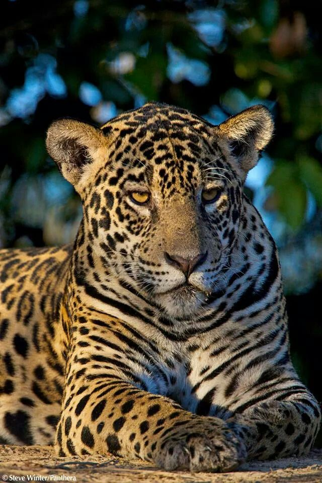 Epic beast.. Big cat family, Animals beautiful