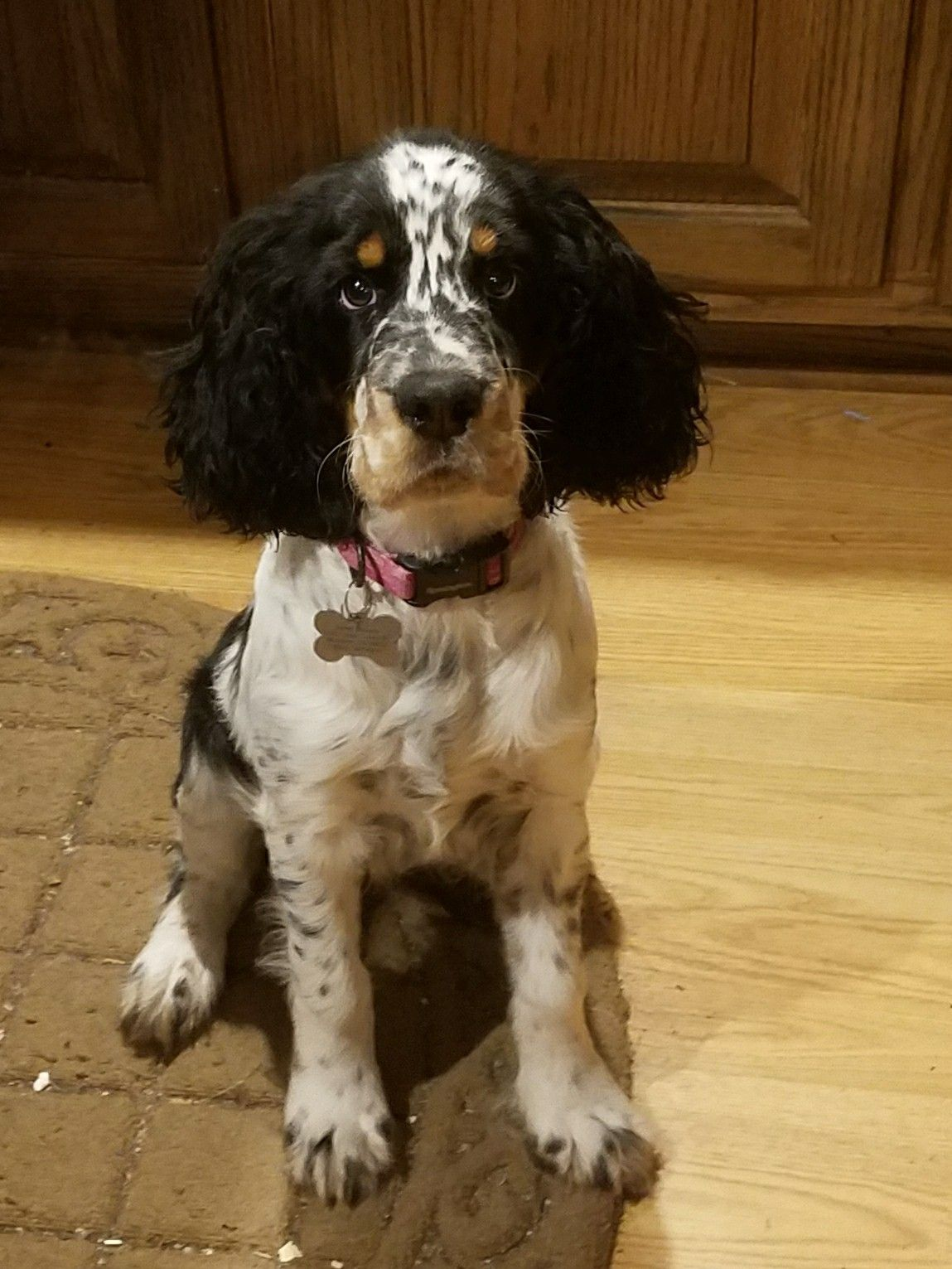 4 Months Old English Setter Puppies Springer Spaniel Puppies Dog People