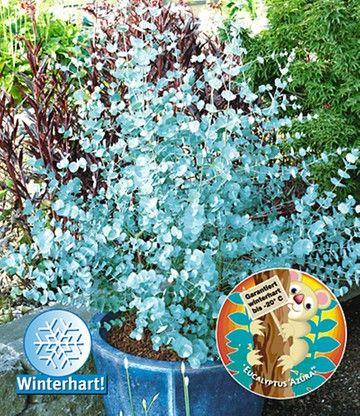 Winterharter Eukalyptus u0027Azura®u0027 garten heckenpflanzen - gartenstraucher immergrun winterhart