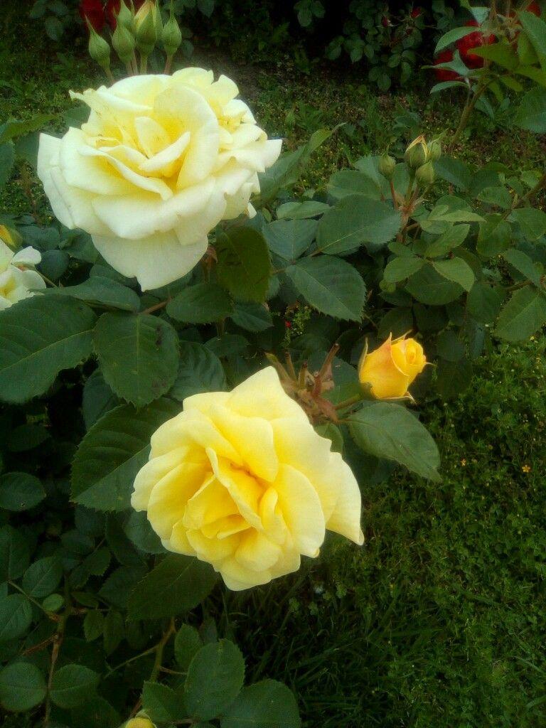 Te mando una rosa amarilla