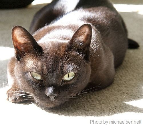A Golden Eyed Beauty The Burmese Cat What Should We Name You Cute Cats Dogs Tonkinese Cat Cats