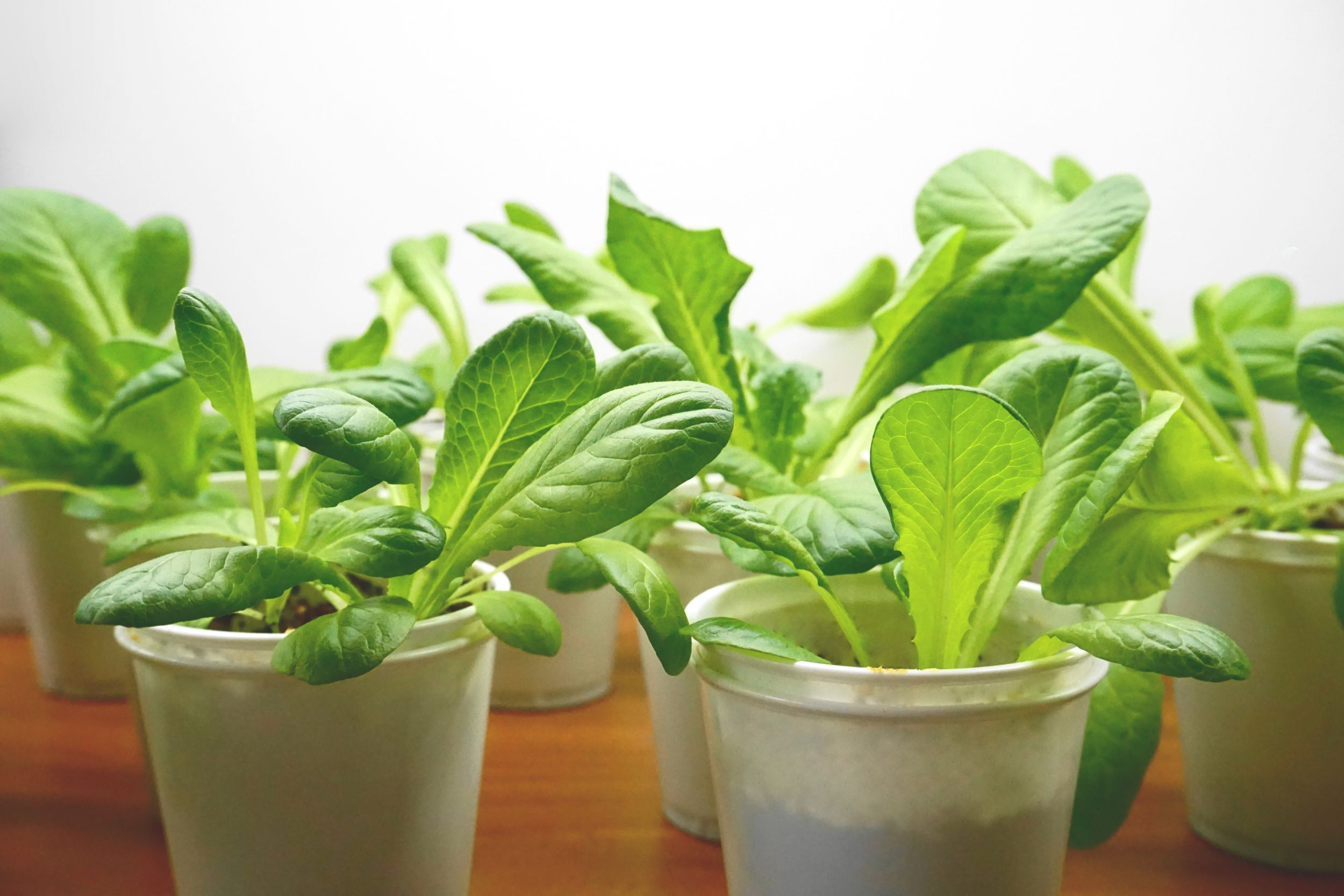 How To Grow Lettuce Indoors Growing Lettuce Growing 400 x 300
