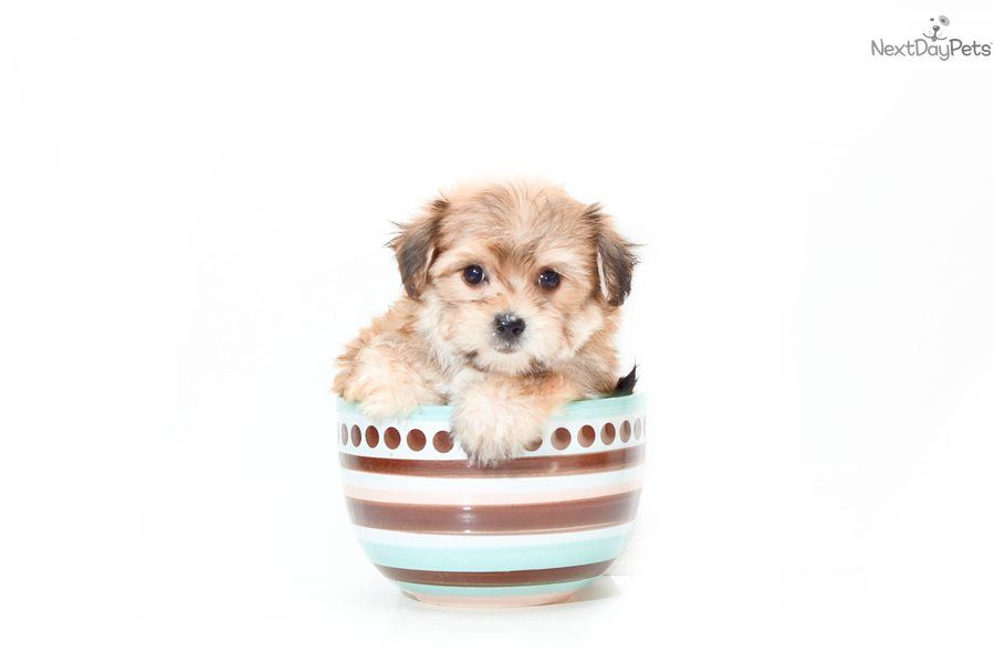 Morkie Yorktese Puppy For Sale Teacup Amy Www Affordablepup Com 220865f9 74e1 Designer Dogs Breeds Morkie Puppies