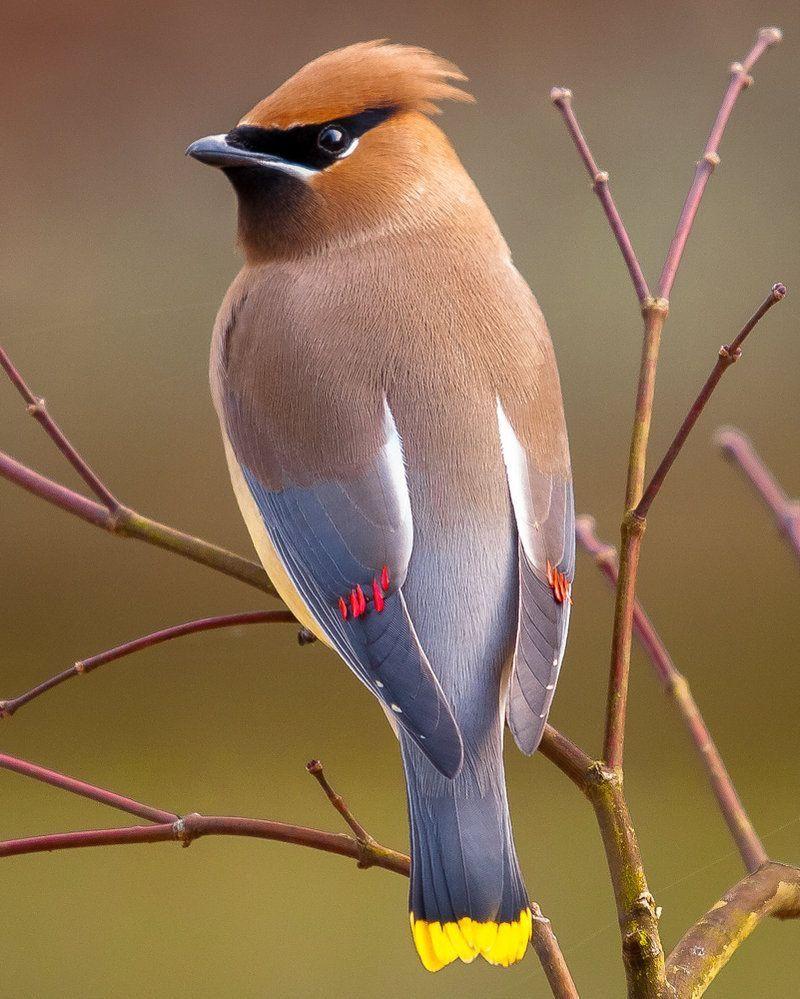 Jaseur D Amerique Beautiful Birds Birds Cedar Waxwing