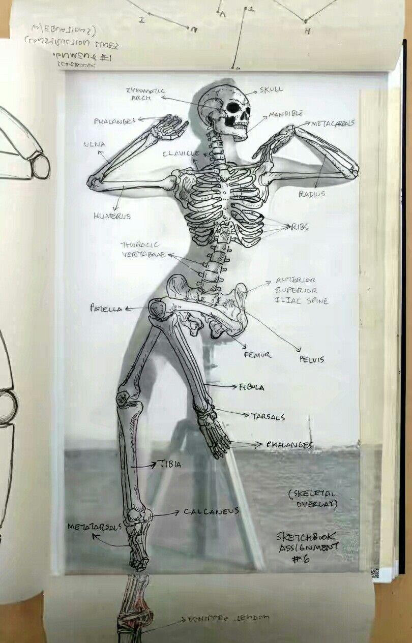 Pin de Jonathan Sánchez en anatomía   Pinterest   Anatomía