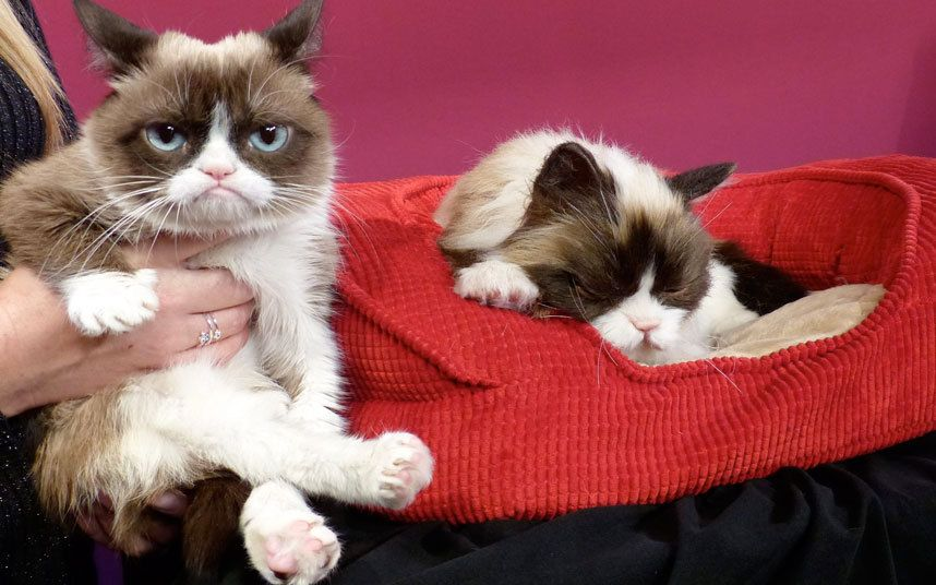 Grumpy Cat looks particularly non-plussed after meeting its new replica  made of fiberglass, silicon, and fake hair in San Francisco's Madame Tussauds