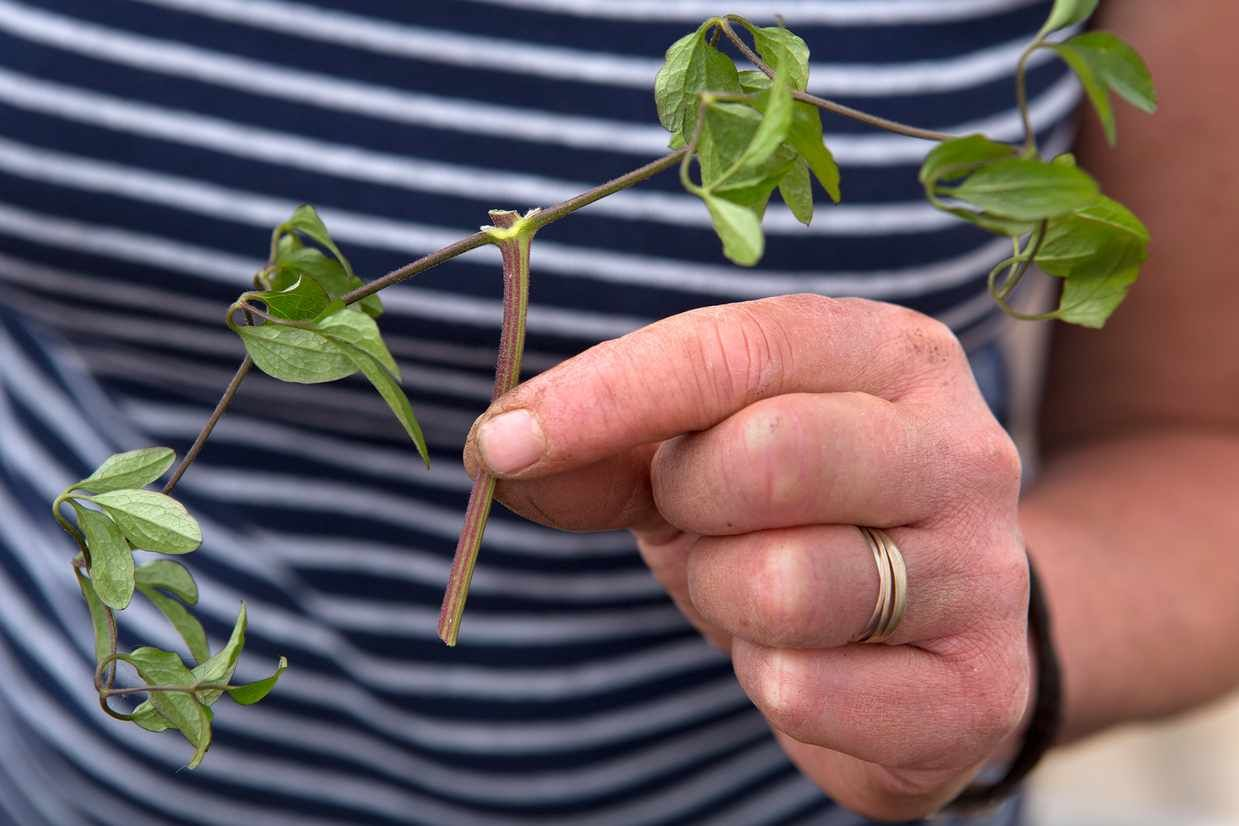 How to take clematis cuttings is part of Clematis, Clematis trellis, Plants, Clematis vine, Clematis plants, Clematis care - Leafbud cuttings can be taken from any clematis  We show you how to do it