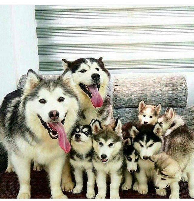 Happy Family Tinyanmls Like Follow Tinyanmls Perro Siberiano