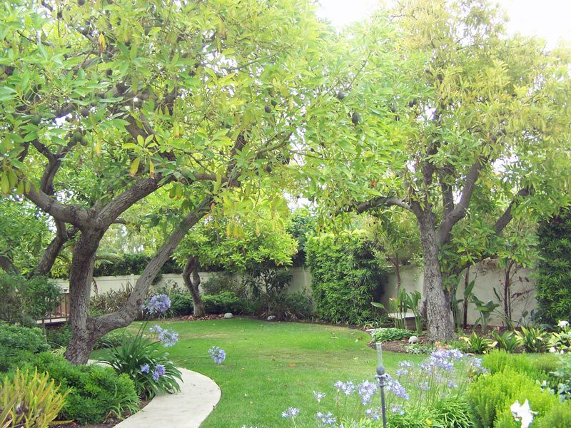 Avocado Trees Avocado Tree Tree Plants