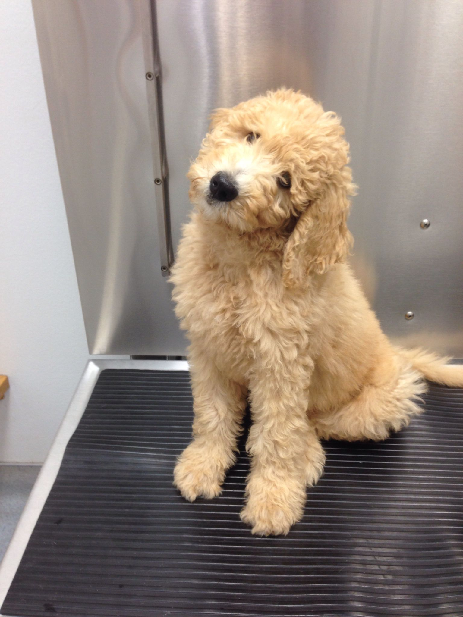 Bernedoodle Puppy Cant Decide If We Want A Golden One Or