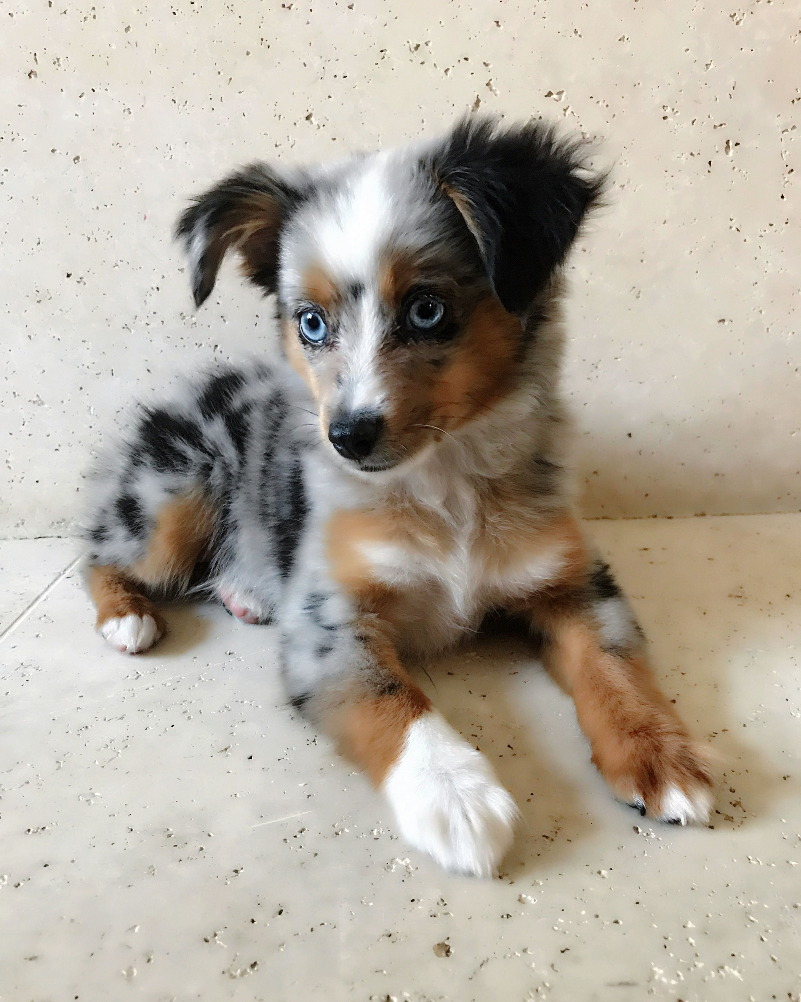 11 Week Old Puppy Blue Merle Australian Shepherd Australian