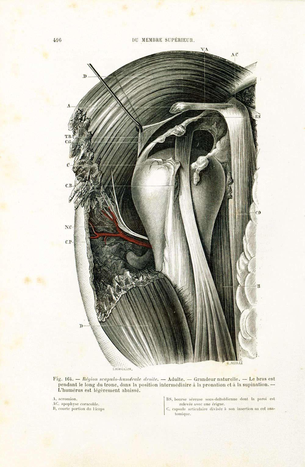 1897 Original Shoulder Elbow Joint Print, Muscles, Tenders, Vintage ...