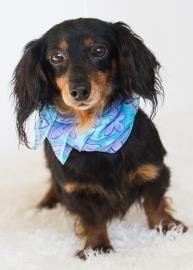 Meet Miss Sadie A 7 Years 1 Month Dachshund Miniature Long