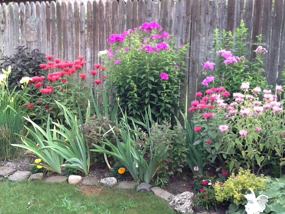The Tall Garden Phlox Against The Fence Are Starting To Bloom