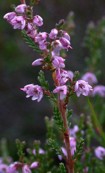 Calluna Vulgaris Heather Flower Fern Flower Plant Identification