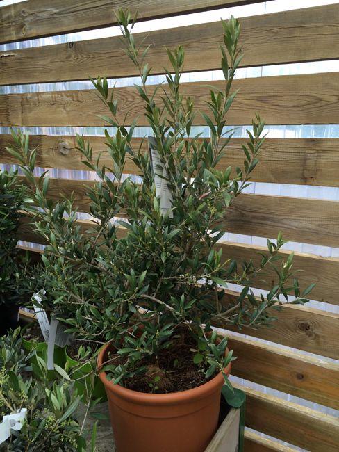 Entretenir son olivier en pot rempoter taille et arrosage